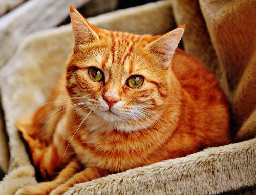 hodowla kota brytysjkiego