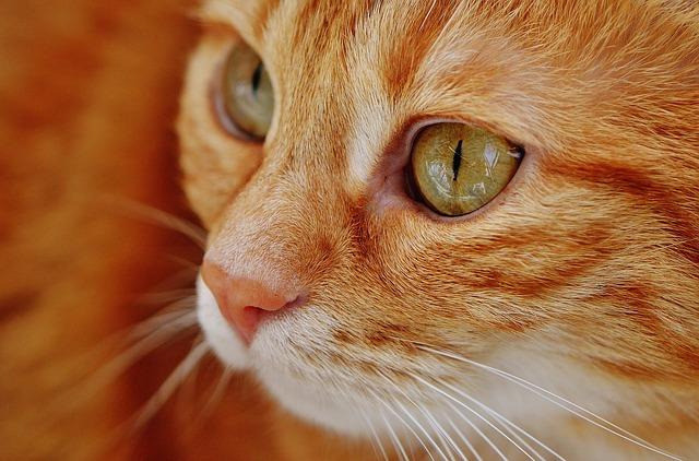 kot tajski wygląd