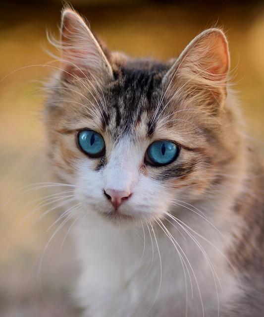 birmański kot