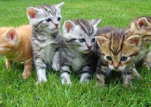 koty sfinks